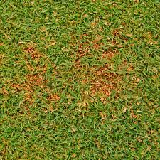 anthracnose